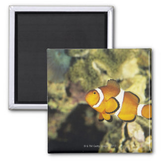 Common clownfish (Amphiprion ocellaris), 2 Inch Square Magnet