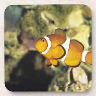 Common clownfish (Amphiprion ocellaris), Beverage Coaster