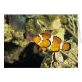 Common clownfish (Amphiprion ocellaris), Greeting Card
