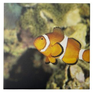 Common clownfish (Amphiprion ocellaris), Large Square Tile