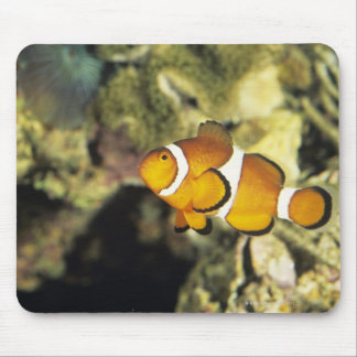 Common clownfish (Amphiprion ocellaris), Mouse Pad