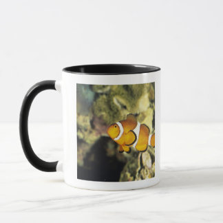 Common clownfish (Amphiprion ocellaris), Mug