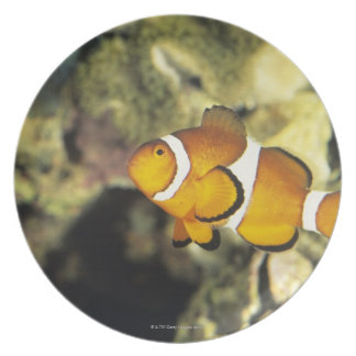 Common clownfish (Amphiprion ocellaris), Party Plates