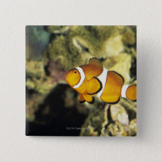 Common clownfish (Amphiprion ocellaris), Pinback Button