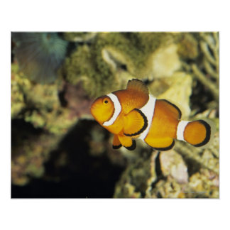 Common clownfish (Amphiprion ocellaris), Poster