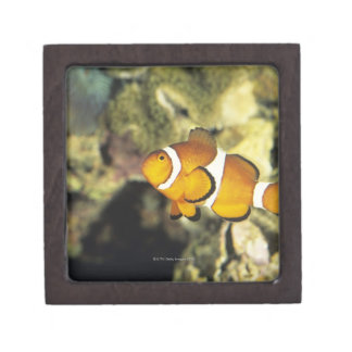 Common clownfish (Amphiprion ocellaris), Premium Jewelry Box