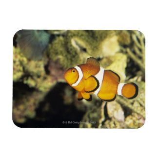 Common clownfish (Amphiprion ocellaris), Rectangular Photo Magnet