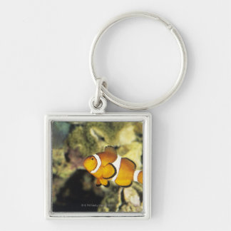 Common clownfish (Amphiprion ocellaris), Silver-Colored Square Keychain