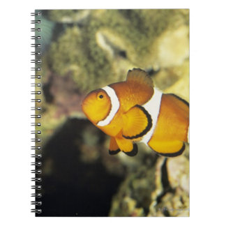 Common clownfish (Amphiprion ocellaris), Spiral Note Books