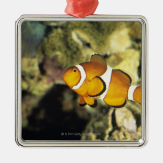Common clownfish (Amphiprion ocellaris), Square Metal Christmas Ornament