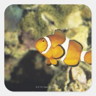 Common clownfish (Amphiprion ocellaris), Square Sticker