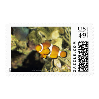 Common clownfish (Amphiprion ocellaris), Stamps
