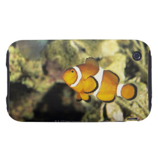Common clownfish (Amphiprion ocellaris), Tough iPhone 3 Covers
