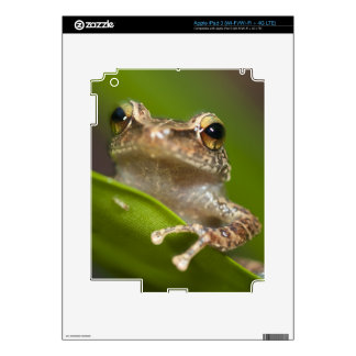 Common coqui, Eleutherodactylus coqui, El Decals For iPad 3