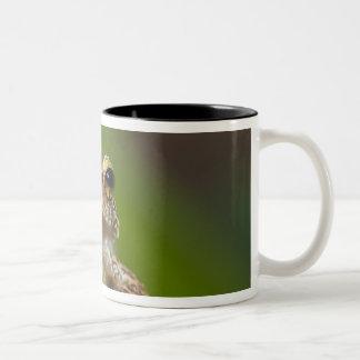 Common coqui, Eleutherodactylus coqui, El Coffee Mugs