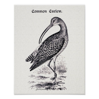 """Common Curlew"" Vintage Illustration Poster"