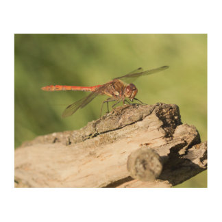 Common Darter Dragonfly Wood Print