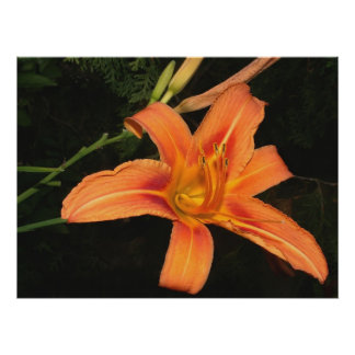 Common Daylily Poster