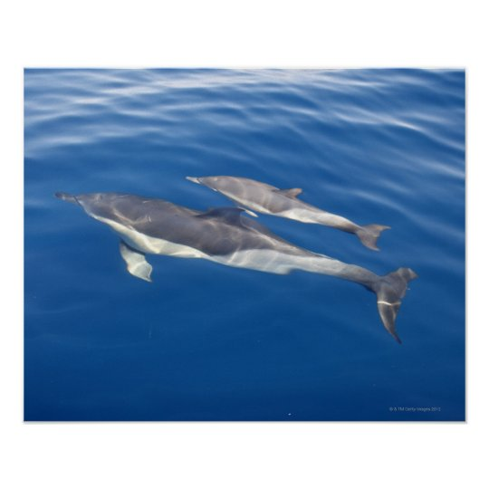 Common Dolphin in the strait Poster