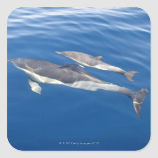 Common Dolphin Square Sticker