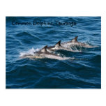 Common Dolphins Post Cards