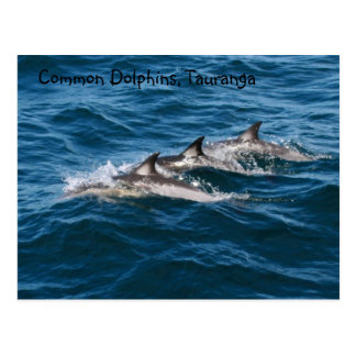 Common Dolphins Postcard