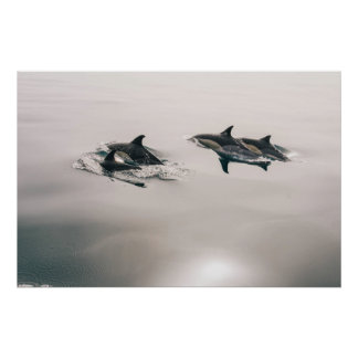 Common Dolphins Poster