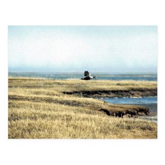Common Eider Postcard