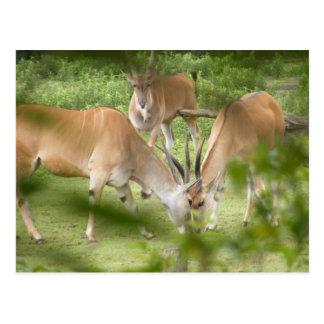 Common Eland Postcard