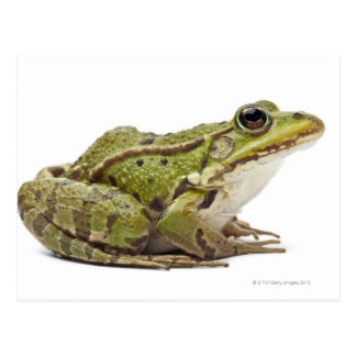 Common European frog or Edible Frog Postcard