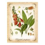 Common Foxglove - vintage illustration Postcards