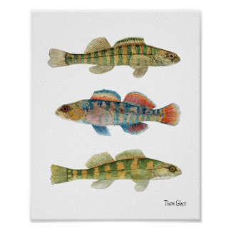 Common Freshwater Darters Poster