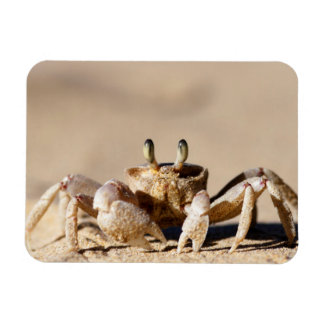 Common Ghost Crab (Ocypode Cordimana) Magnet