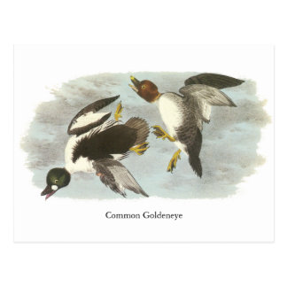 Common Goldeneye, John Audubon Post Cards