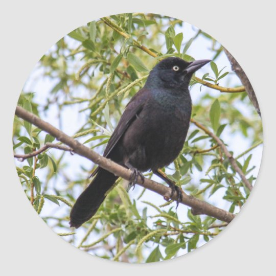 Common Grackle Classic Round Sticker