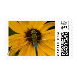 Common Green Darner male on Black-eyed Susan Postage