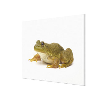 Common Green Frog Gallery Wrapped Canvas