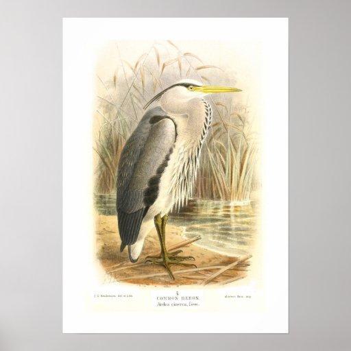 Common Heron Poster