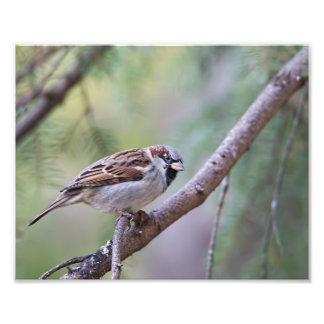 Common House Sparrow in Tree Photography Print