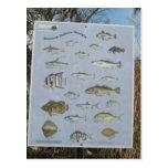 common inshore coastal fish of Georgia's Post Cards