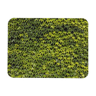 Common ivy (hedera helix) at house wall magnet