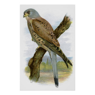 Common Kestrel - Falco tinnunculus Poster