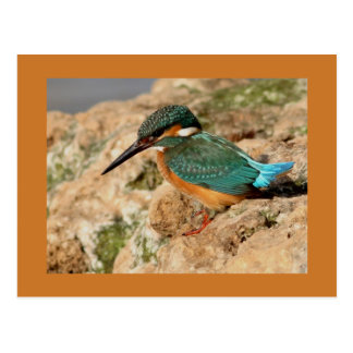 Common Kingfisher Post Cards