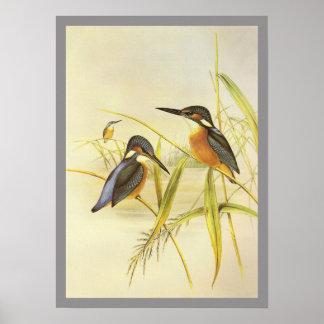 Common Kingfisher Print