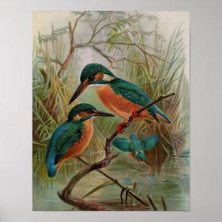 Common Kingfisher Vintage Bird Illustration Poster