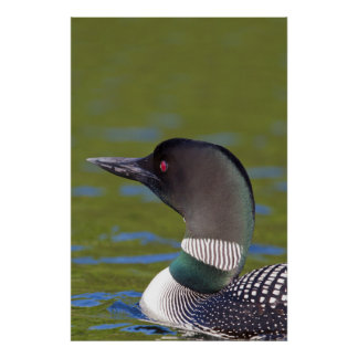 Common loon in water, Canada Poster