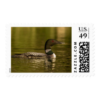 Common Loon Male On Beaver Lake Near Whitefish Postage