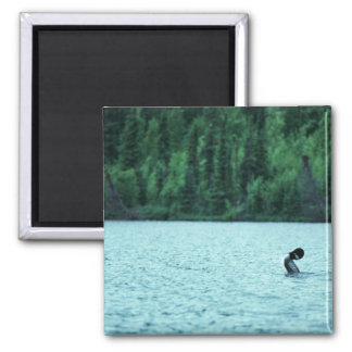 Common Loon Mating Display on Water Magnet