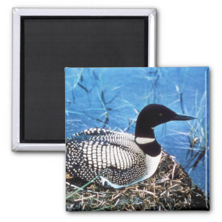 Common Loon on Nest 2 Inch Square Magnet