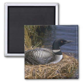 Common Loon on nest Magnets